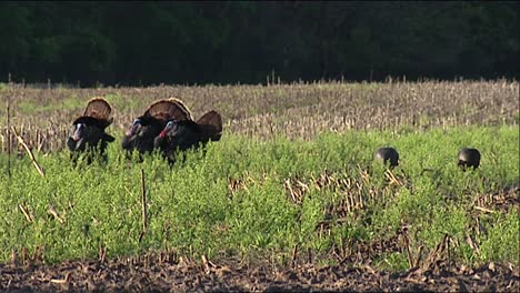 Four-Wild-Male-Turkeys-(Meleagris-Gallopavo)-Displaying-And-Two-Jakes-(Young-Males)-2013