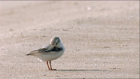 Piping-Plover-(Charadrius-Melodus)-Grooming-And-Walking-On-Beach-At-Waters-Edge-2013