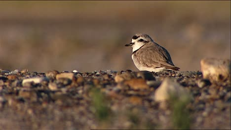 Snowy-Plover-(Charadrius-Alexandrinus)-On-Stony-Surface-Also-Grooming-then-Running-2013