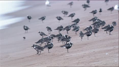 Group-Of-Several-Blackbellied-Plover-(Pluvialis-Squatarola)-On-Beach-Fly-Off-2013