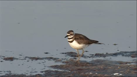 Killdeer-(Charadrius-Vociferus)-Running-At-Waters-Edge-And-Feeding-2013