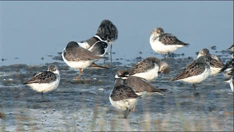 Semipalmated-Sandpipers-(Calidris-Pusilla)-In-Shallow-Water-Grooming-2013