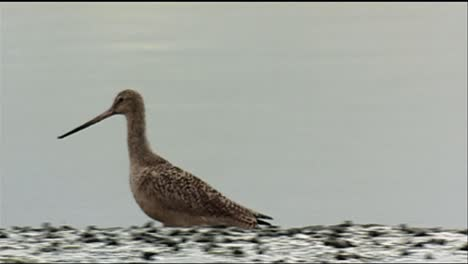 Longbilled-Curlew-(Numenius-Americanus)-Walking-In-A-Grassy-Field-2013