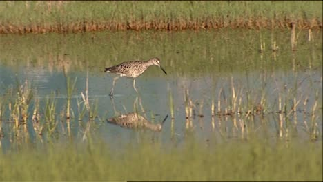 Willet-(Tringa-Semipalmata)-Walking-In-Shallow-Water-2013