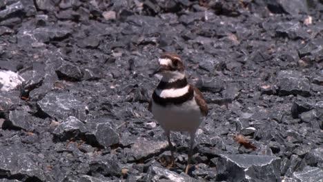 Killdeer-(Charadrius-Vociferus)-Walking-Around-Rocks-Least-Sandpiper-(Calidris-Minutilla)-Walking-Around-Short-Grass-2013