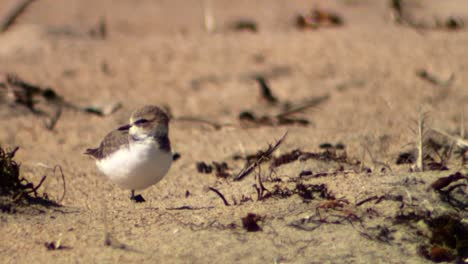 A-Plovers-(Charadriidae)-By-themselves-On-Sand-2013