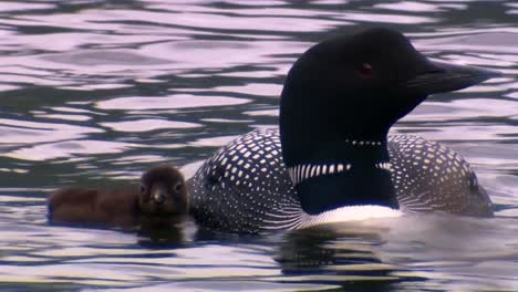 Common-Loon-(Gavia-Immer)-Swimming-With-Chick-On-Back-2013