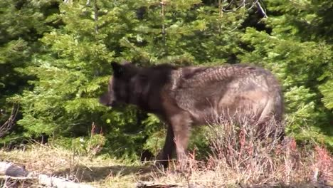A-Three-Year-Old-Male-Wolf-Walks-Through-The-Forest