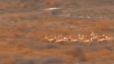 Pronghorn-Antelope-Being-Herded-By-Helicopter