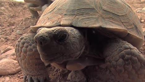 Tortugas-Del-Desierto-En-Peligro-De-Extinción-De-Cerca