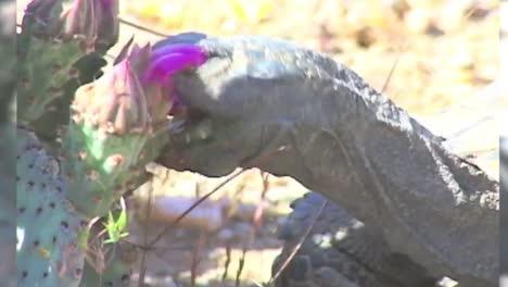 Endangered-Desert-Tortoises-Close-Up-1