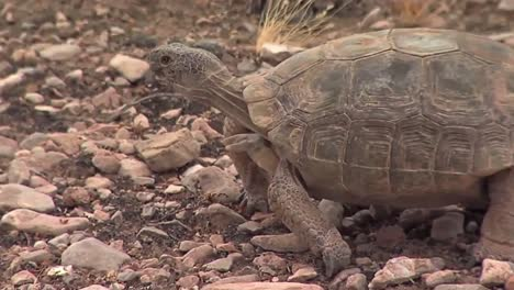Endangered-Desert-Tortoises-In-Their-Native-Habitat