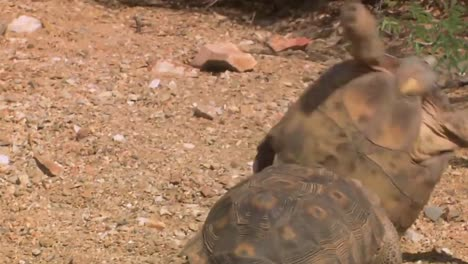 Endangered-Desert-Tortoises-In-Their-Native-Habitat-1