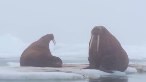 Walrus-Live-In-A-Natural-Ice-Habitat-In-The-Arctic
