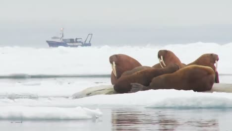 Walrus-Live-In-A-Natural-Ice-Habitat-In-The-Arctic-2