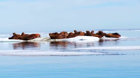 Walross-Leben-In-Einem-Natürlichen-Eislebensraum-In-Der-Arktis-5