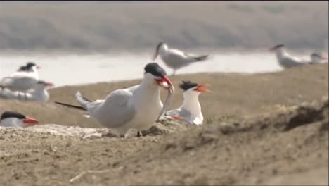 Gulls-And-Terns-Near-A-Watering-Area-2