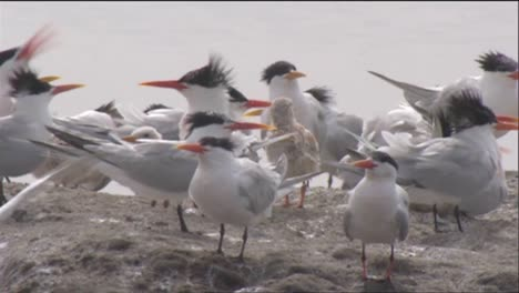 Gulls-And-Terns-Near-A-Watering-Area-3