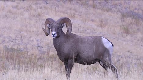 Bighorn-Sheep-Grazing