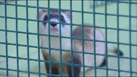 Various-Shots-Of-Ferrets-In-Captivity