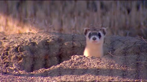 Various-Shots-Of-Ferrets-In-Their-Natural-Habitat