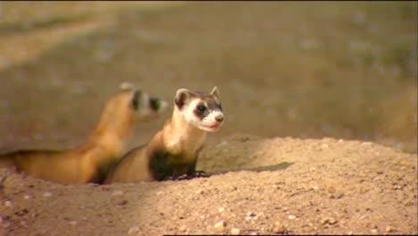 Various-Shots-Of-Ferrets-In-Captivity-2
