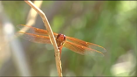 A-Dragonfly-Sits-On-A-Reed