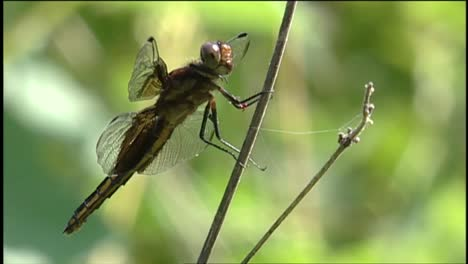 A-Dragonfly-Sits-On-A-Reed-1