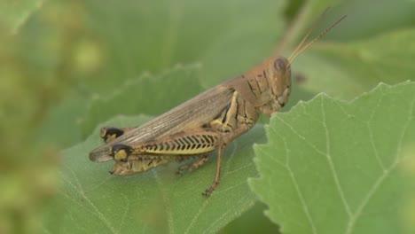 A-Grasshopper-Sits-On-A-Green-Leaf