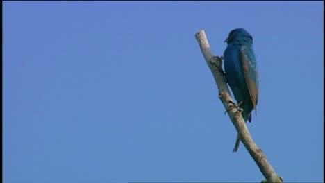 A-Bluebird-Singing-In-A-Tree