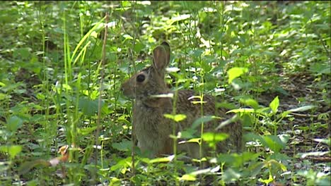 A-Rabbit-Sits-In-The-Forest-Looking-Alert
