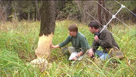 Investigadores-Estudian-El-Daño-A-Un-árbol-Causado-Por-Un-Castor