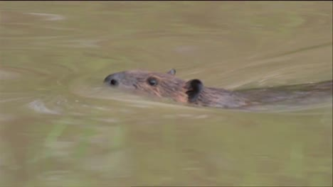 A-Beaver-Swims-In-A-River-And-Chews-On-A-Tree-Trunk