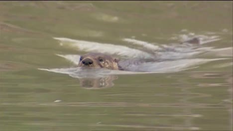 A-Beaver-Swims-In-A-River