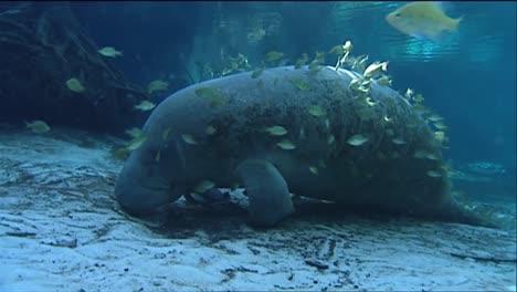 A-Manatee-Swims-Underwater-1