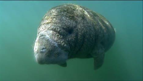 A-Manatee-Swims-Underwater-2