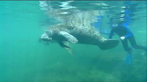 A-Manatee-Swims-Underwater-6