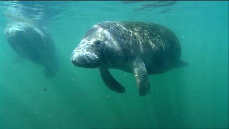 A-Manatee-Swims-Underwater-7