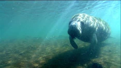 A-Manatee-Swims-Underwater-8