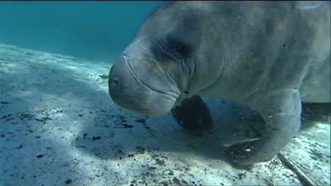 A-Manatee-Swims-Underwater-9