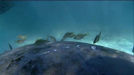 A-Manatee-Swims-Underwater-13