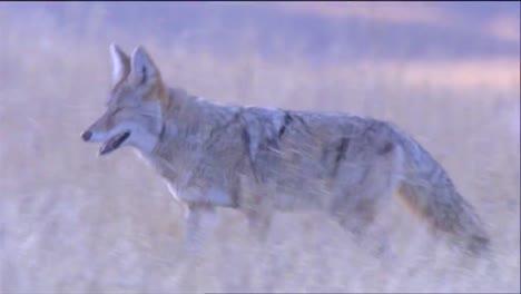 Ein-Kojote-Jagt-Im-Hohen-Gras