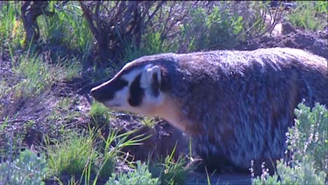 A-Badger-Walks-In-The-Grass