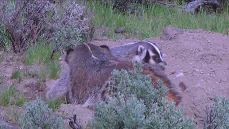 A-Badger-Family-At-Its-Burrow