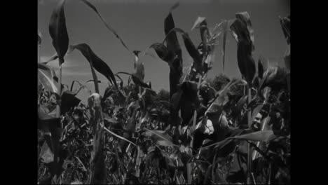 Los-Obreros-Trabajan-En-Los-Campos-De-Maíz-En-Nebraska-En-1945-1