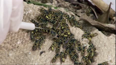 Researchers-At-The-National-Science-Foundation-Study-Yellowjackets-And-Wasps-In-The-Lab-To-Better-Understand-Their-Community-Relationships