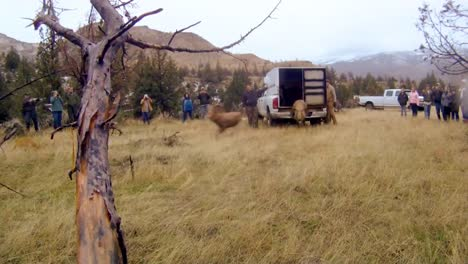 Bighorn-Sheep-Are-Released-Into-The-Wild-By-Wildlife-Biologists-1