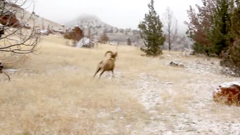 Bighorn-Sheep-Are-Released-Into-The-Wild-By-Wildlife-Biologists-3