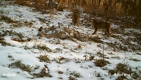 Security-Remote-Camera-Footage-Shows-A-Coyote-And-Bobcat-Having-An-Intense-Standoff-In-A-Clearing
