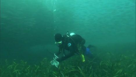 Divers-Replant-Eel-Grass-On-The-Ocean-Floor-In-The-Channel-Islands-California